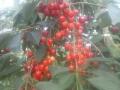 Kersen