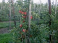 boomgaard-3-jpg