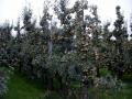 boomgaard-8-jpg